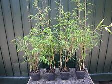 Fargesia jiuzhaigou 1, 40-50 cm, Bambus, Gräser, Jadebambus, roter Bambus