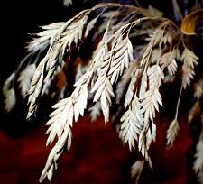 Rye Brome – Bromus secalinus – forgotten heirloom cereal grass – 100 fresh seeds