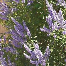 Vitex agnus-castus CHASTE TREE, Long Blooming Hardy Shrub/Small Tree ~SEEDS~