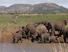 Postcard Playful African Elephants at Water Hole Near Pilanesberg South Africa