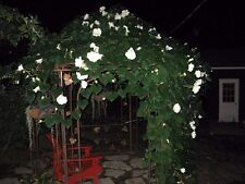 MOONFLOWER  VINE SEEDS! HUGE SCENTED WHITE FLOWERS ! COMBINED S/H!