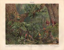 Araceen  Aronstabgewächse  Araceae  Diefenbachia Philodendron Lithographie 1893