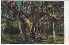 AN INDIA RUBBER TREE - A C Bosselman & Co - FLORIDA USA -  c1900s era postcard
