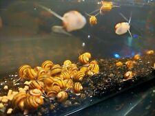 Asolene Snail Spixis Snail x3 shrimp safe clean up crew pest and snail controle