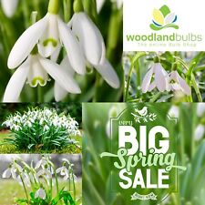 100 SINGLE SNOWDROPS Top Quality Freshly Lifted Bulbs (Galanthus Nivalis)