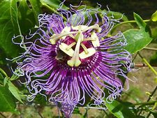 `MAYPOP PURPLE PASSION FLOWER LIVE PLANT VINE (INCARNATA X CINCINNATA) INCENSE