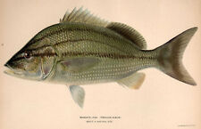 WHITE MARGATE GRUNT Saltwater Coral Reef Game Fish ~ 1902 Art Print Lithograph