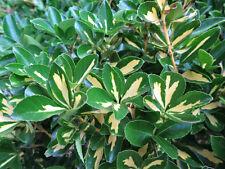 LIVE climber Euonymus Fortunei wintercreeper hardy broad leaf evergreen -30F-34C
