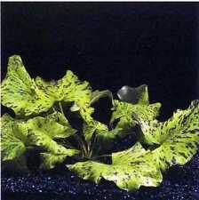 2 bulbes demare  de nymphea zenckeri tiger  lotus  plante aquarium  rare poisson