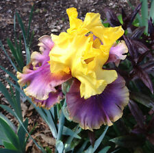 Tall Bearded Iris In Living Color Yellow Lavender rhizome perennial plant