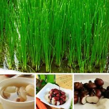 Chinese Water Chestnut Live Fresh Dormant Seeds Eleocharis Dulcis Plants Seed