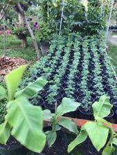 [FREE SHIPPING] 50 Fresh Premium Ruda (Rue) Remedy Plant Seeds