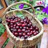 20 pcs Cherry Tree Seeds Delicious Prunus Avium Sweet Edible Fruit