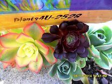 Succulent Aeonium 3 Variety tricolor  Arboreum Zwartzkopt & Haworthii cuttings