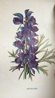 ANTIQUE PRINT C1900 MONKSHOOD GARDEN FLOWERS BOTANY BOTANICAL PLANTS ART