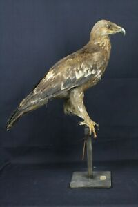 Taxidermy-hunting-chasse-präparat- Step. Eag. dated 1881 (no shipping to UK)