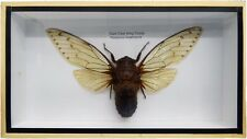 EMPRESS CICADA GIANT CLEAR WING INSECT (POMPONIA IMPERATORIA) DISPLAY BOX