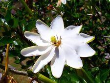 RARE 5 graines Gardénia des forêts(Gardenia Thunbergia)K14 FOREST GARDENIA SEEDS