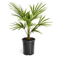 Windmill Palm Tree - Cold Hardy Palm Trees for your Patio - Cannot Ship to AZ