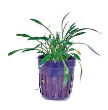 CRYPTOCORYNE PARVA  ONE POTTED PLANT -SMALLEST CRYPTOCORYNE- NANO TANK