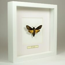 Real taxidermy butterfly mounted in white wooden frame - Acherontia Atropos