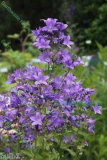 1 Campanula Prichards Variety Summer Flowering Ex 9Cm Pot Perennial Plant