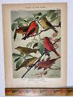 Vtg Original Print Plate #87 Tanager Birds of New York 1916 Fuertes Nature art