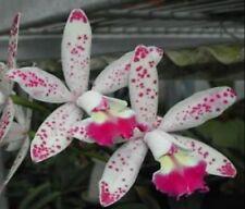 Orquídea Cattleya LC. tropical puntero 'Cheetah' fragante Bloom Tamaño