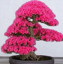 20 SEMI DI BONSAI ALBERO GIAPPONESE SAKURA Fiore Cherry Blossoms