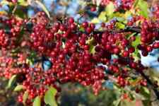 250 seeds Aronia arbutifolia, red chokeberry
