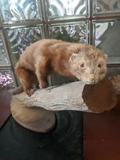 Vintage Handsome MINK TAXIDERMY Mount Life Size Posed Beautiful Mancave Trophy