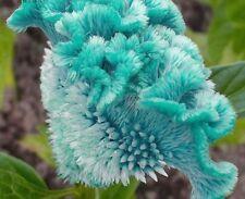 500x Blue Cockscomb Celosia Spicata Plant Seeds Home Garden flower Tree