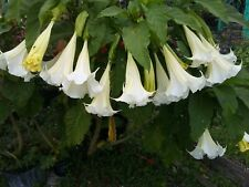"Brugmansia Angels Trumpet 1 live plant large fragrant white flowers 7""+ tall"