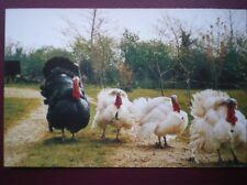 POSTCARD C3 ANIMALS NORFOLK TURKETS & FRIENDS