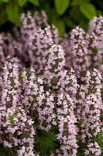 75+ Thymus Vulgaris Thyme Flower Seeds / Herb Seeds / Perennial/ Great Gift