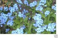Forget-Me-Not- Chinese Blue (Cynoglossum Amabile)- 500 Seeds