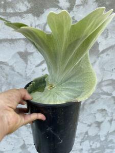 Platycerium superbum 25-30cm