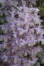 Rare orchid species seedling - Dendrobium aphyllum