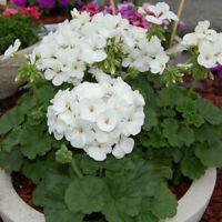 15 Geranium Seeds Ringo White