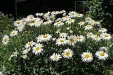 PERENNIAL FLOWER CHRYSANTHEMUM MAXIMUM SHASTA DAISY 7500 SEEDS BULK