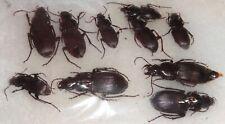 Carabidae 10 Carabids Australia #Z28 Carabus Ground Beetle Calosoma