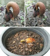 Durian Fruit Seed
