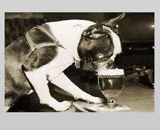 Crazy Vintage Dog Drinking Beer PHOTO Boston Terrier Glass Lager Bar 1959 circa