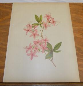 1882 Antique COLOR Floral Print///PURPLE AZALEA, or AZALEA NUDIFLORA