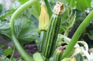 5/20 Graines de Courgette Vert Italienne Classique Rayée Productive Légumes