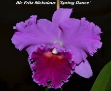 "(9-1) Blc Fritz Nickolaus ""Spring Dance"" in a 4 inch Pot size Fragrant"