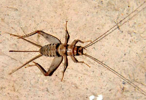 Live Crickets - All Sizes 500 - 10,000 Free Shipping $19.99/500 $28.99/1000