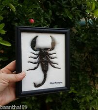 Real Black Scorpion Palamnaeus Insect Bug Taxidermy Framed Wooden Entomology #1