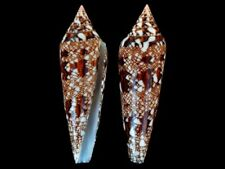 Conus bengalensis - Shells from all over the World NEW!!!