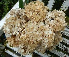 10 Dried Hydrangea Flowers Antique Cream White DIY Craft Wedding  Farmhouse